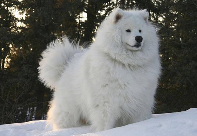 harige-hond
