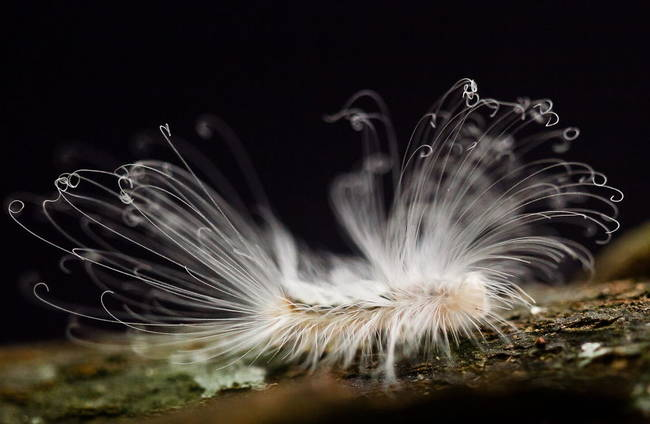 Hairy Caterpillar - Haarige Schmetterlingsraupe