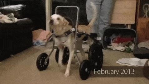 hond-rolstoel