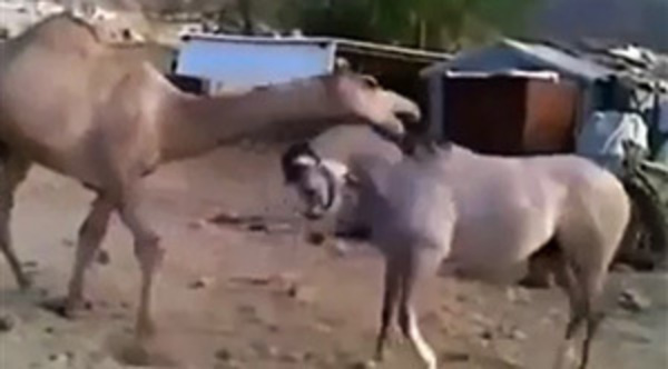 paard-en-kameel