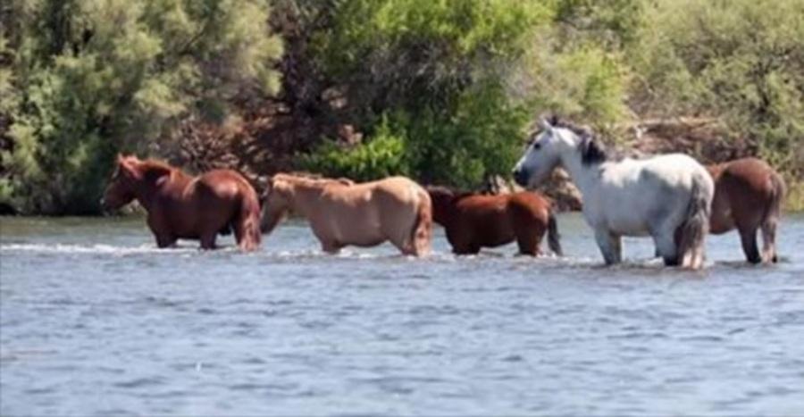 paarden-in-water
