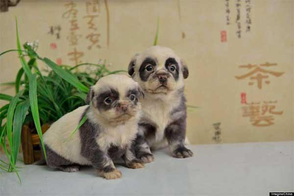 Chinese puppys