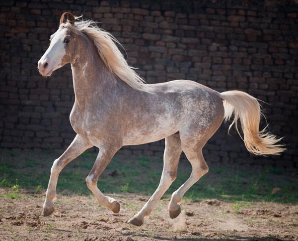 sabino paard
