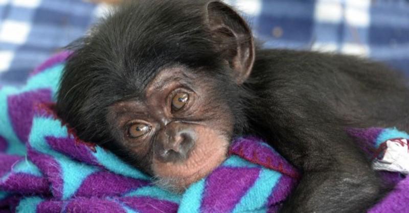 dierenarts chimpansee