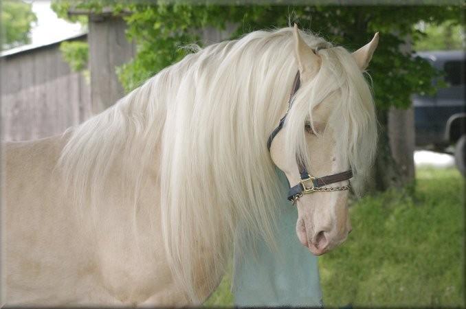 goud paard