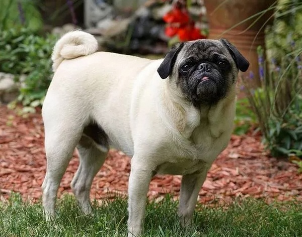 hond-taspasta