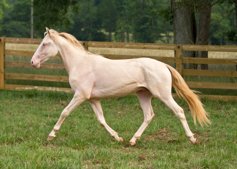 perlino paard