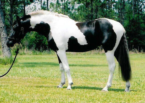 vacht paard pinto