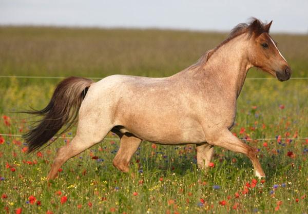 schimmel paard