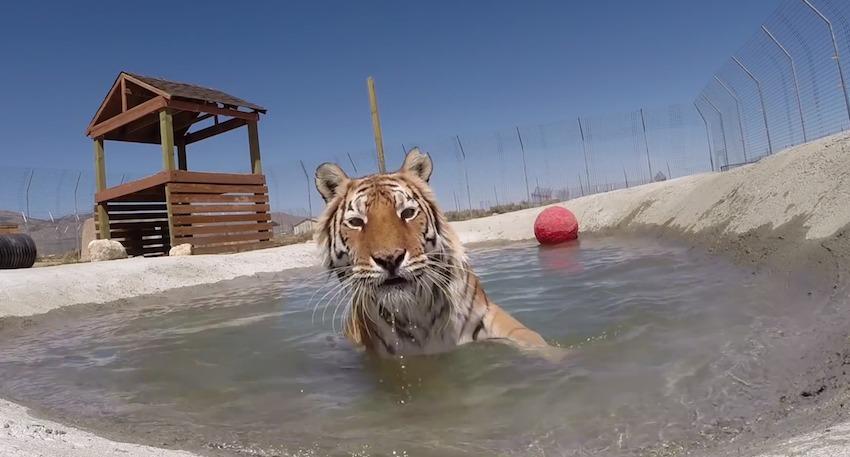 tijger-in-verblijf