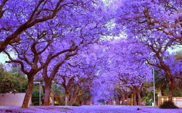 Jacaranda Zuid-Afrika