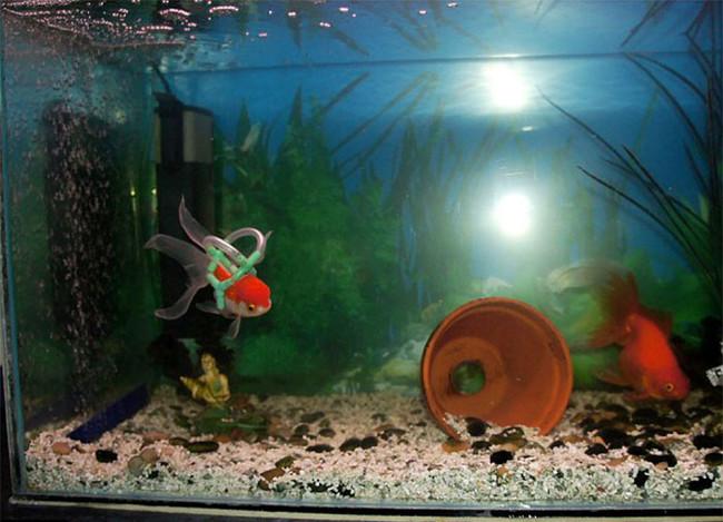 aquarium goudvis