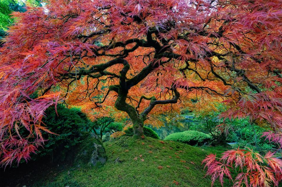 japanse maple boom