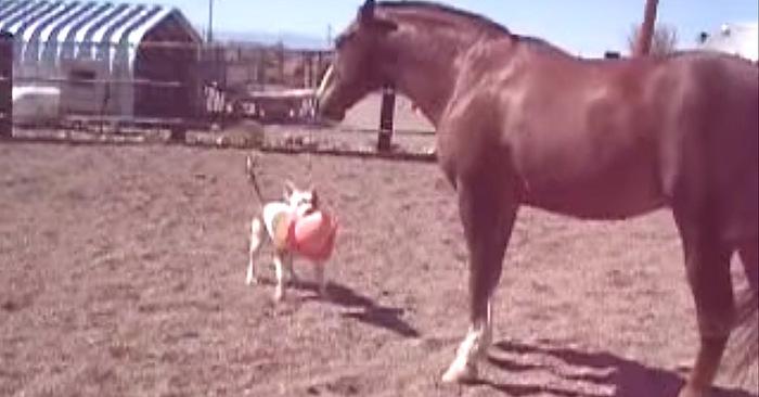 pitbull puppy pup paard boerderij hond