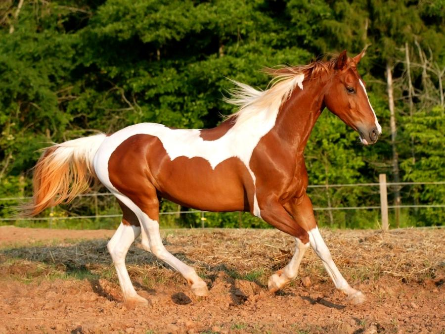 Paint paard