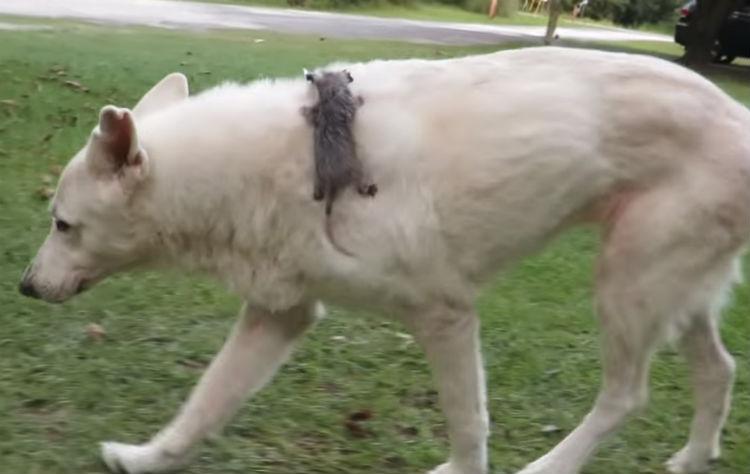 duitse herder, herdershond, herdershond puppy