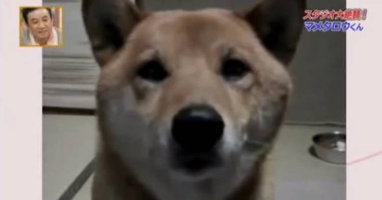 shiba inu pups, shiba inu, shiba pups, shiba inu pup