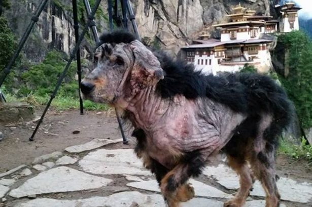 labrador hond