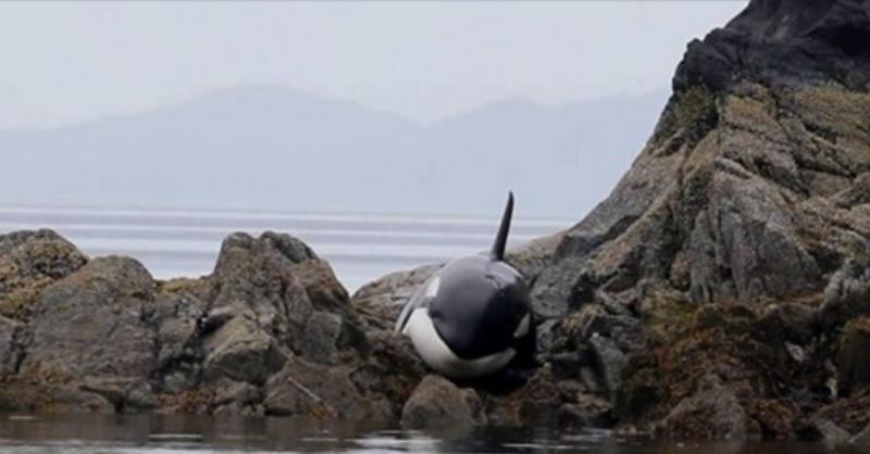 dierenarts, orka, Canada reis, canada reizen