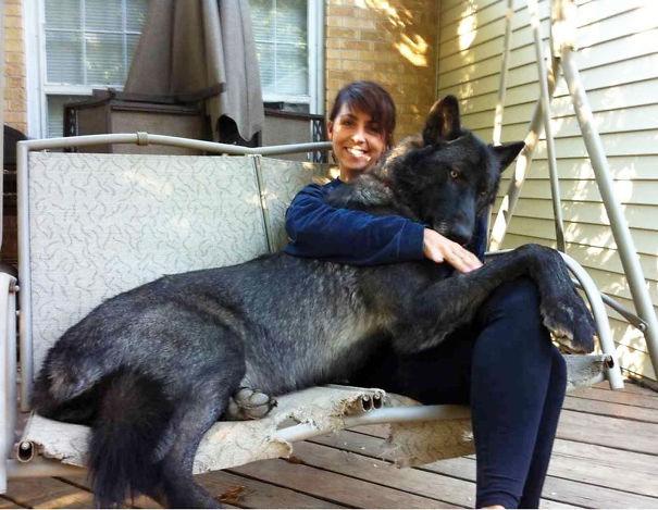 Wolf-hondhybride, hondenras