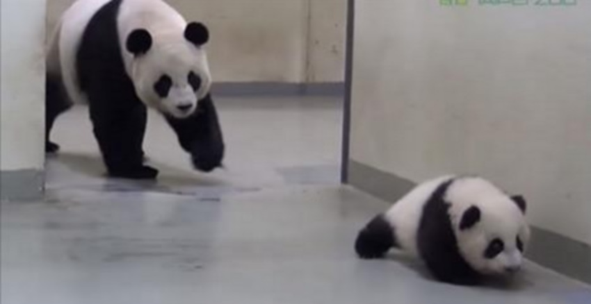 panda, dierentuin