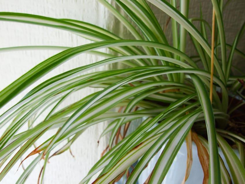 graslelie plant